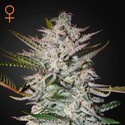 Holy Punch (Greenhouse Seeds) Feminizada