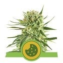 Royal Cookies Automatic (Royal Queen Seeds) Feminizada