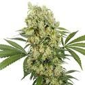 Medikit (Buddha Seeds) Feminizada