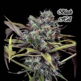 Black Hell (GeneSeeds) feminized