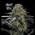 Crystal Tears (GeneSeeds) feminized