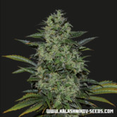 Power Russian (Kalashnikov Seeds) feminized