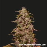 Big Altai Sativa Express (Kalashnikov Seeds) feminized