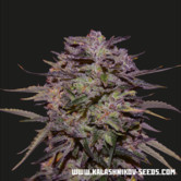 Purple Russian Express (Kalashnikov Seeds) feminized