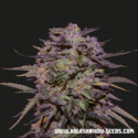 Purple Russian Express (Kalashnikov Seeds) Feminizada