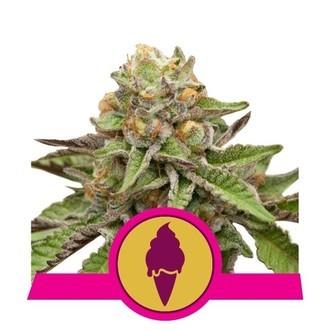 Green Gelato (Royal Queen Seeds) Feminizada