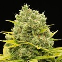 Dinamed CBD Plus (Dinafem) Feminizada