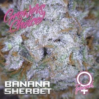 Banana Sherbet (Growers Choice) Feminizada
