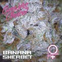 Banana Sherbet (Growers Choice) Feminizada
