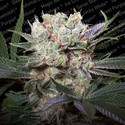 Californian Gold (Paradise Seeds) Feminizada