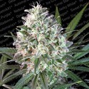 Space Cookies (Paradise Seeds) Feminizada