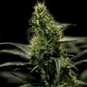 Energy Haze (Bulldog Seeds) feminizada