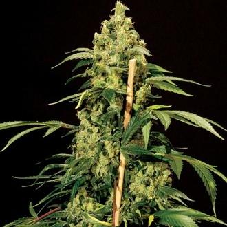 Jack Herer (Bulldog Seeds) feminizada