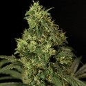 Northern Light (Bulldog Seeds) feminizada