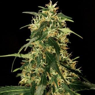 Silver Star Haze (Bulldog Seeds) feminizada