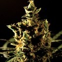The Bulldog Haze (Bulldog Seeds) feminizada