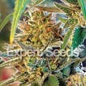 California Orange (Expert Seeds) feminizada