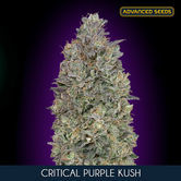 Critical Purple Kush (Advanced Seeds) feminizada