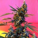 DeeDee (French Touch Seeds) feminized