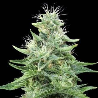 Gorilla Candy (Eva Seeds) feminizada