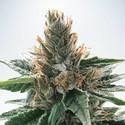 God's Glue (Ministry Of Cannabis) feminizada