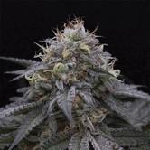 Sugar Breath (Humboldt Seeds) feminizada