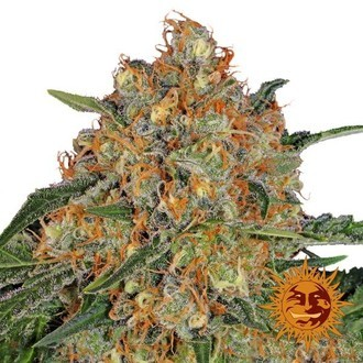 Orange Sherbert (Barney's Farm) feminizada