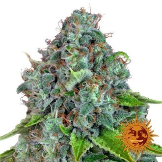 Strawberry Lemonade (Barney's Farm) feminizada