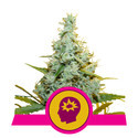 AMG - Amnesia Mac Ganja (Royal Queen Seeds) feminizada