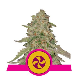 Sweet ZZ (Royal Queen Seeds) feminizada