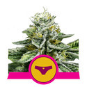 Sherbet Queen (Royal Queen Seeds) feminizada