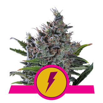 North Thunderfuck (Royal Queen Seeds) feminizada