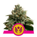 Legendary Punch (Royal Queen Seeds) feminizada