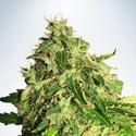 Auto Cannabis Light (Ministry of Cannabis) feminizada
