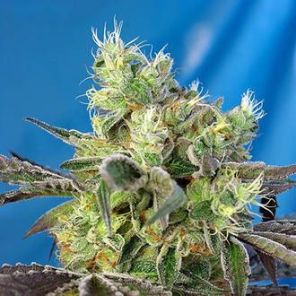 Do-Sweet-Dos (Sweet Seeds) feminizada
