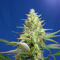 Sweet Pure Auto CBD (Sweet Seeds) feminizada