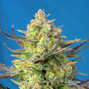 Sweet Cheese XL Auto (Sweet Seeds) feminized
