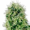 Pure Power Plant (White Label) feminizada