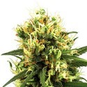 White Haze Automatic (White Label) feminizada