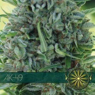 AK-49 (Vision Seeds) feminizada