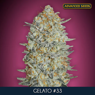 Gelato 33 (Advanced Seeds) feminizada