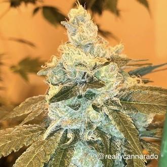 Weed Nap (Cannarado Genetics) feminizada