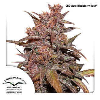 CBD Auto Blackberry Kush (Dutch Passion) feminizada