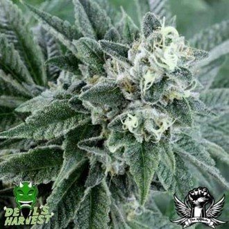 Strawberry Sour Diesel (Devil's Harvest) Feminizada