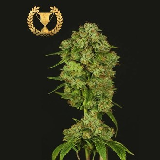 Casey Jones (Devil's Harvest Seeds) feminizada