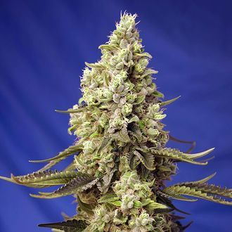 Runtz XL Auto (Sweet Seeds) feminizada