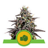 Purple Punch Auto (Royal Queen Seeds) feminized