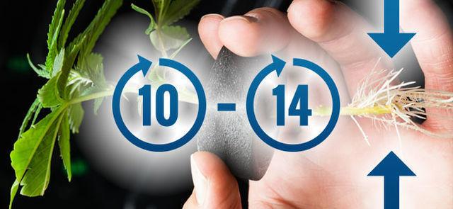 10-14 Días: Las Primeras Raíces