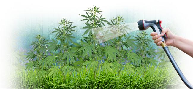 ¿Vale El Agua Del Grifo Para La Marihuana?