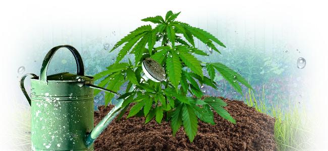 ¿Cómo Regar Adecuadamente Tus Plantas De Marihuana?